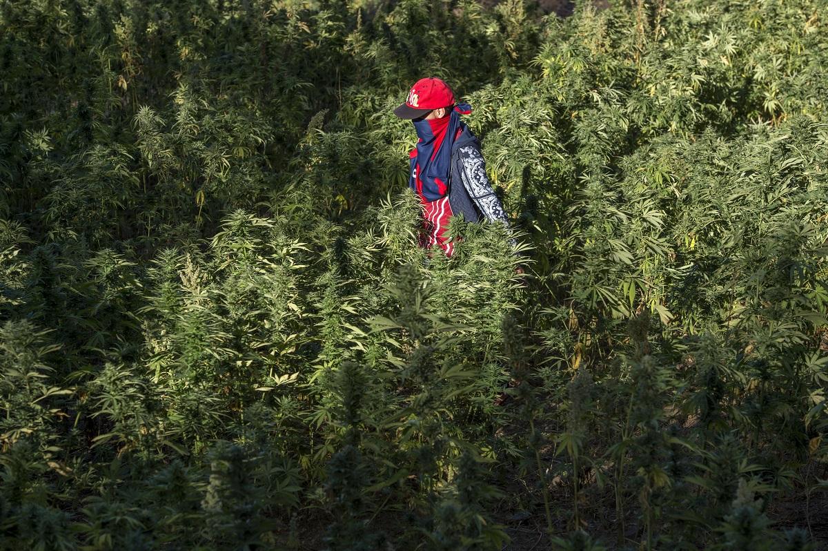 70 % des revenus iront aux provinces — Vente du cannabis