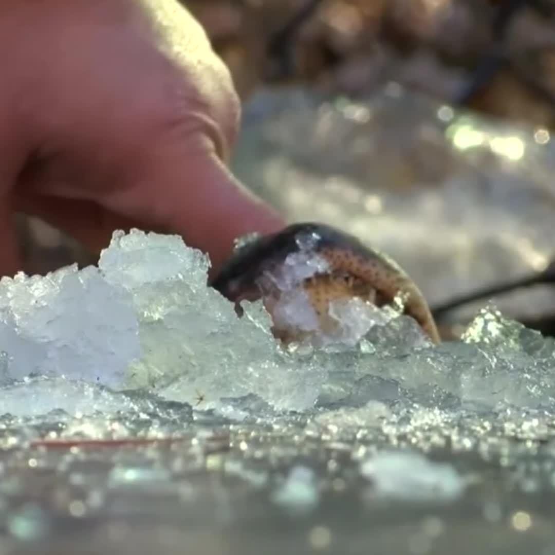 Les alligators défient le gel aux Etats-Unis