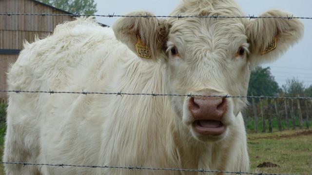 Il agresse une vache sexuellement — Nantes
