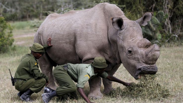 Le dernier rhinocéros blanc du Nord maintenant sur Tinder