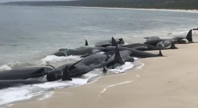 135 dauphins s'échouent sur une plage — Australie