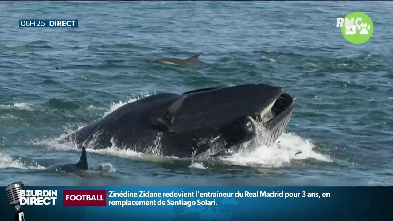 Une baleine avale un plongeur et le recrache vivant