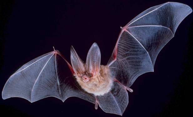 Brésil : des chauves-souris vampires s'attaquent aux humains