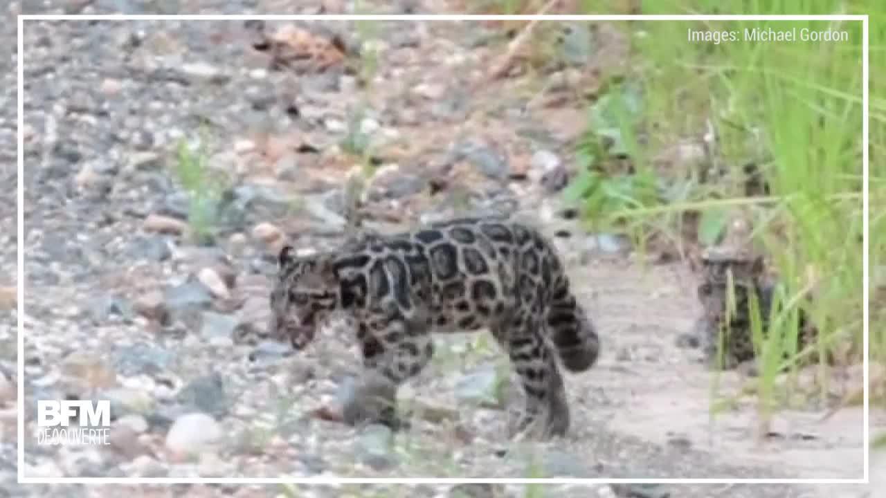 EN VIDEO - Regardez ces magnifiques léopards tachetés de Bornéo