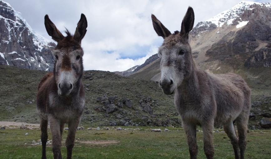 4 ânes sauvagement abattus — Savoie