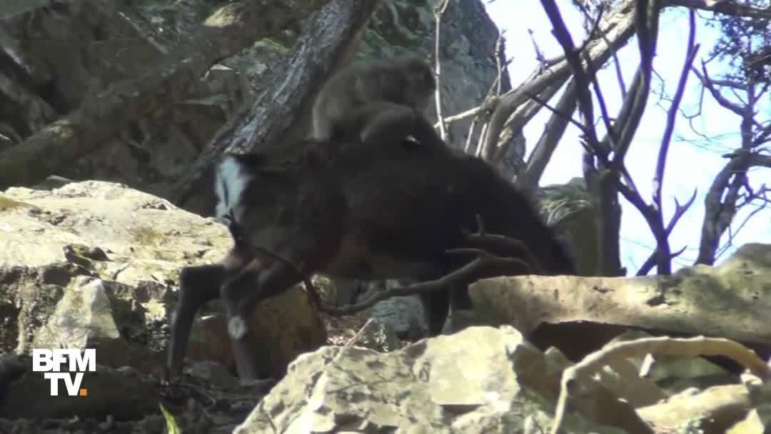 Des macaques et des cerfs en plein ébat sexuel au Japon