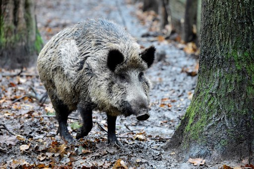 Peste porcine: création d'une
