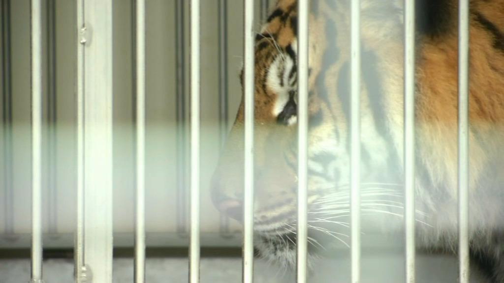 Un tigre s'échappe d'un cirque à Paris : l'animal neutralisé par la police