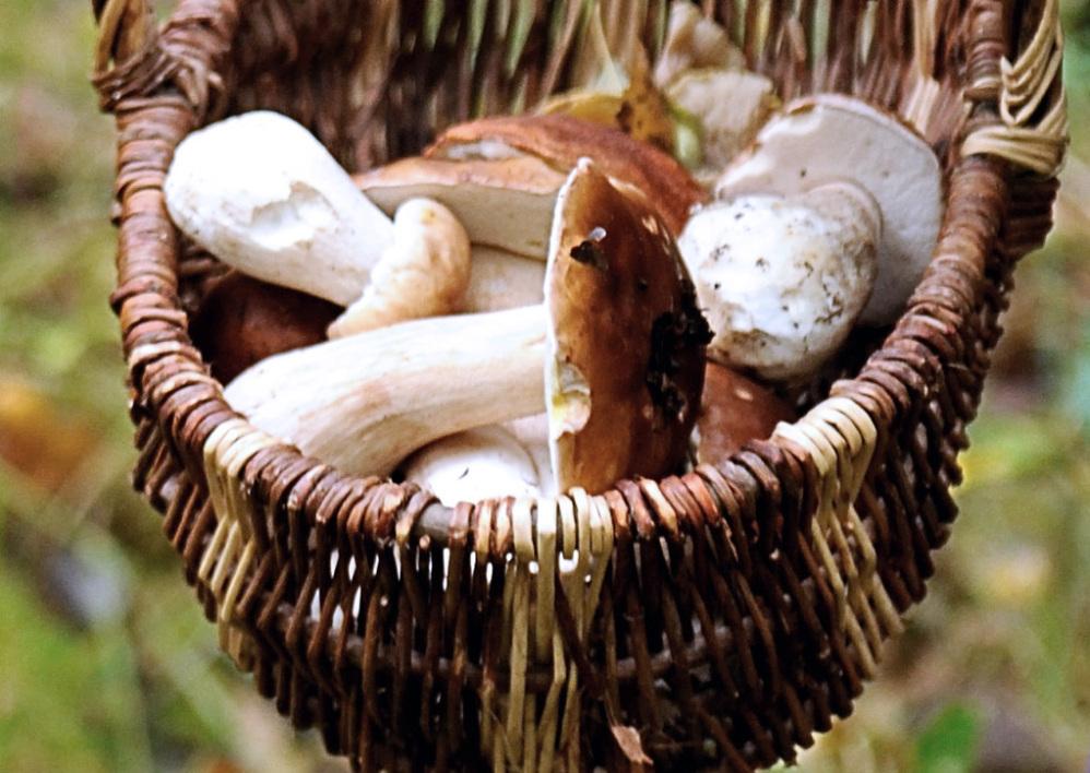 Un panier de cèpes ramassés en octobre 2012 à Clairmarais, dans le Pas-de-Calais. - Philippe Huguen - AFP