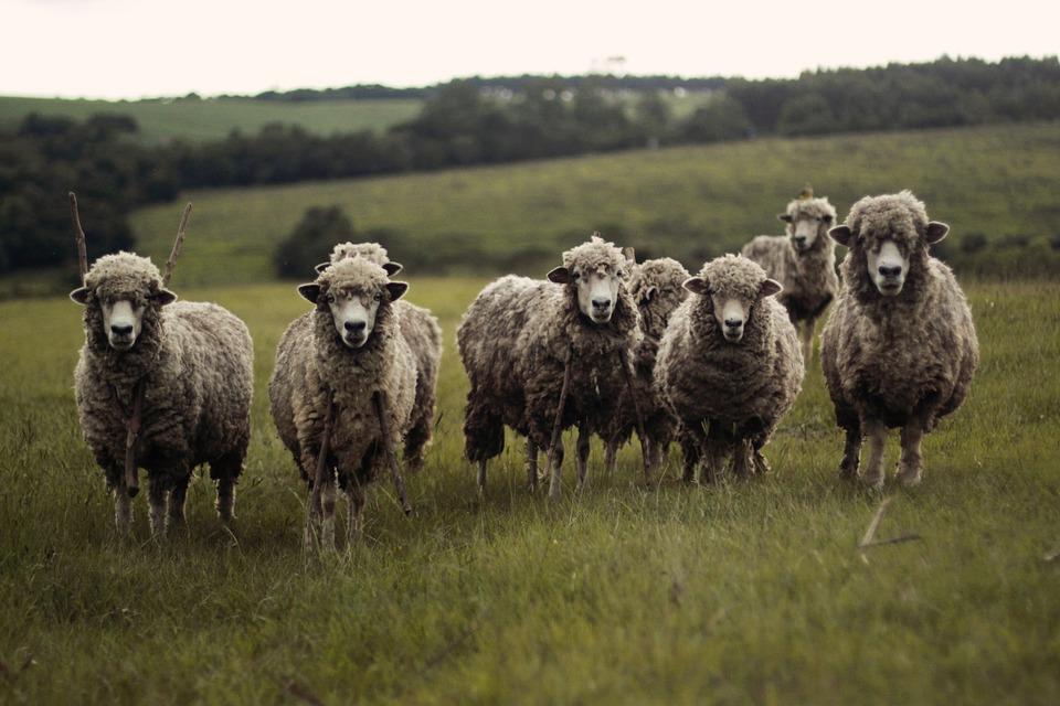 300 moutons saisis contre l'abattage clandestin avant l'Aïd — Bouches-du-Rhône