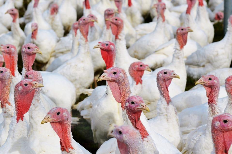 9000 dindes abattues dans un élevage du Maine-et-Loire — Grippe aviaire